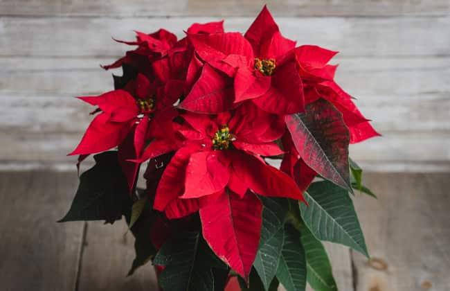 Foto Stella Di Natale.La Stella Di Natale Puo Vivere A Lungo Ecco Come Prendersene Cura Un Fiore Da Blog